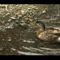 Thumbnail Royalty Free Stock Footage : Duck : NL00627