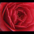 Thumbnail Royalty Free Stock Footage : Rose : NL00635