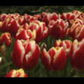 Thumbnail Royalty Free Stock Footage : Flowers : NL00637