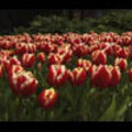 Thumbnail Royalty Free Stock Footage : Flowers : NL00638