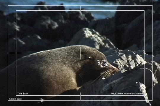 Product picture Royalty Free Stock Footage : Seals : NL00478